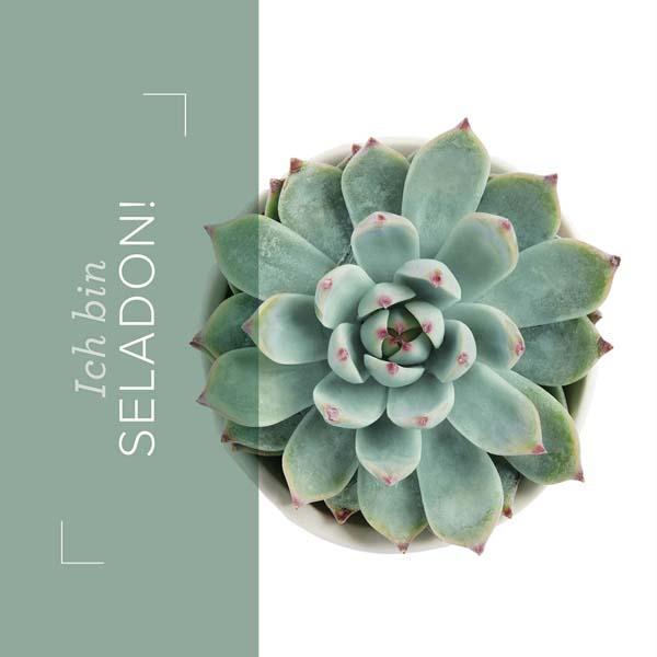 Incolor seladon